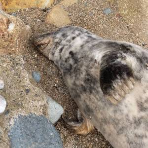 injured grey seal